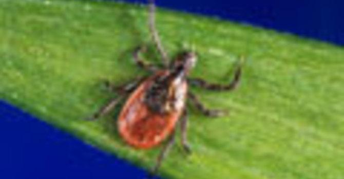 Ticks In Alberta and Lyme Disease image